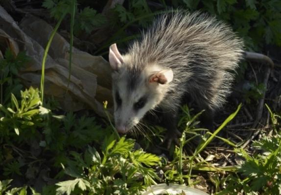 16830954 – common opossum (didelphis marsupialis)