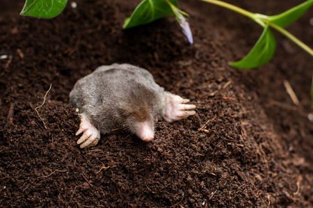 32843446 – mole in the soil hole in the garden