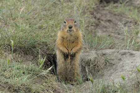 45278761 – yakutia, gopher.