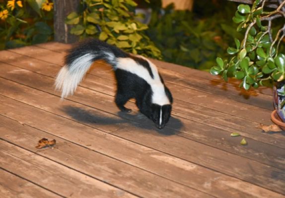 55630971 – skunk in backyard patio